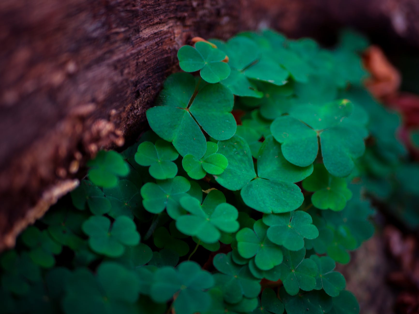 close up clover depth of field environment