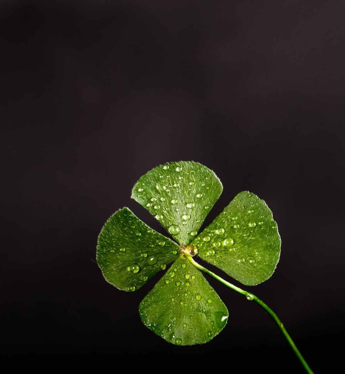 shallow focus photography of four leaf clover